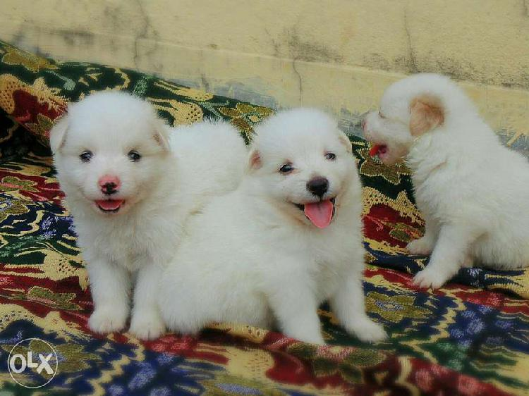 Trust kennel spitz puppies available in delhi
