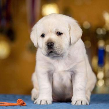 Top import litter of labrador puppies available in bangalore