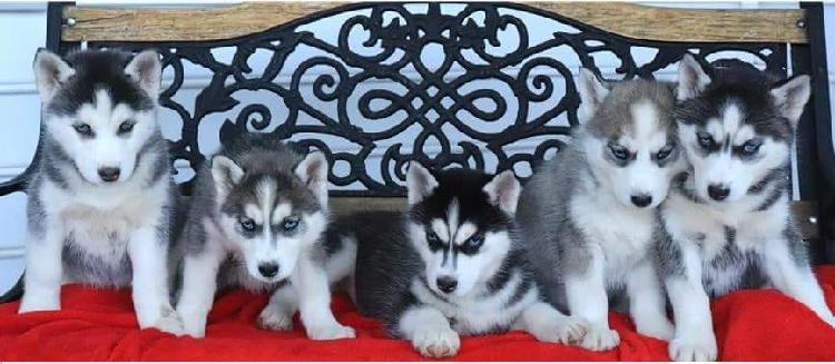Siberian husky puppies for sale still have six giant siber
