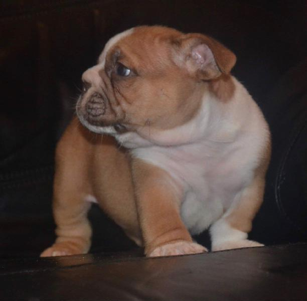 English bulldog male puppy available 2 leave now to new home