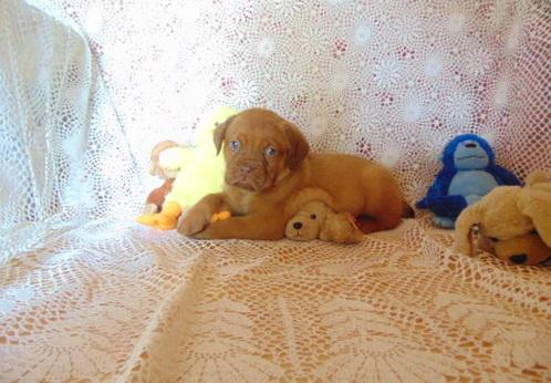 New year offer french mastiff puppies available