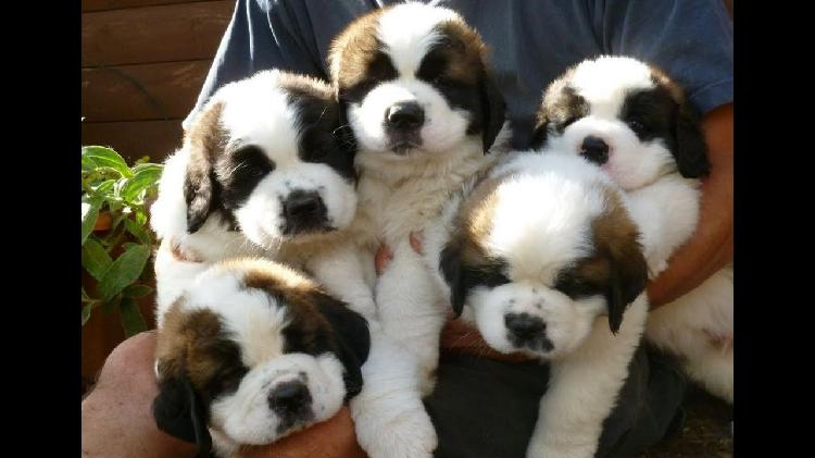Good lovely kci saint bernard male and female puppies for sa
