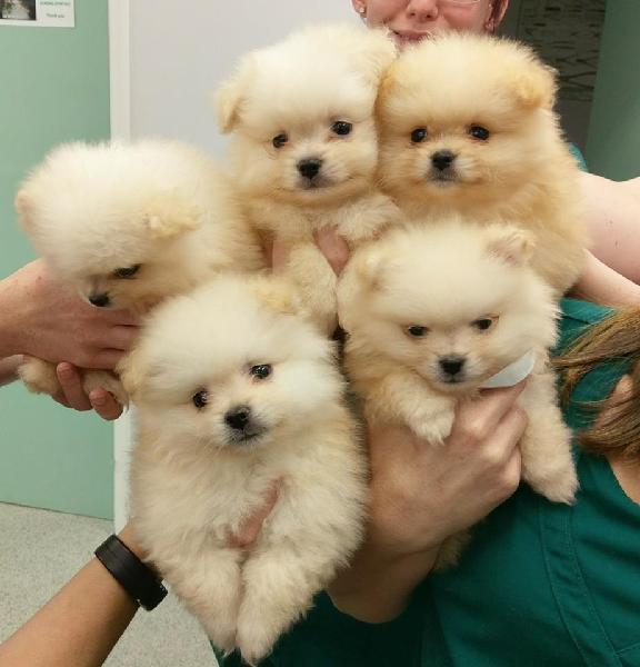 Good kci pomeranian male and female puppies for sale our pup