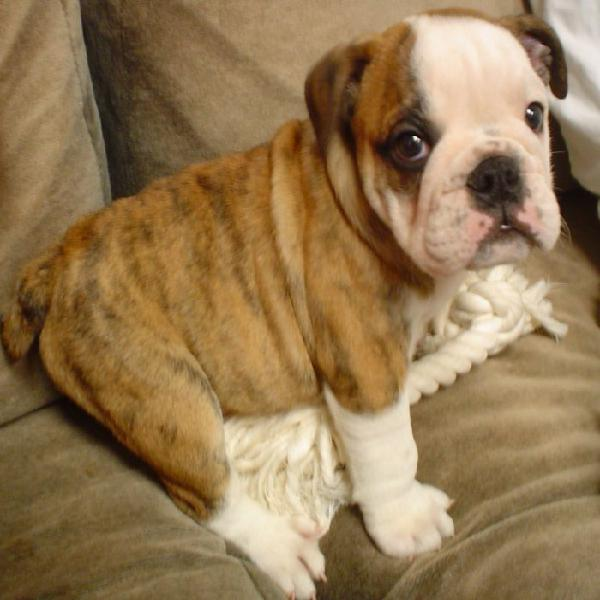 Wellcoming homing english bulldog pupies for sale