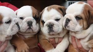 They have been vaccinated english bulldog fr sale now