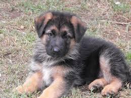 Sreeganesh farm best quality german shephard puppies sale