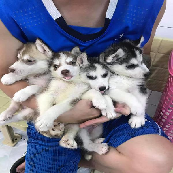 Lovely and cute kci siberian husky male and female puppies