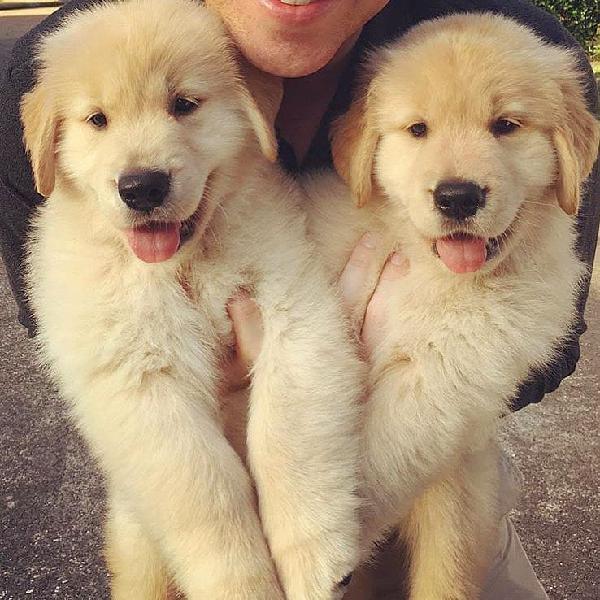 Adorable kci golden retriever puppies for sale
