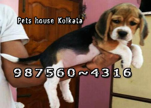 Imported adorable beagle dog puppies sale at manipur