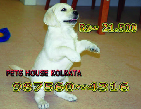 Imported pedigree labrador dogs and pets sale at guwahati