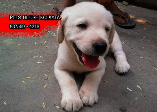 Imported quality top labrador dogs available at agartala