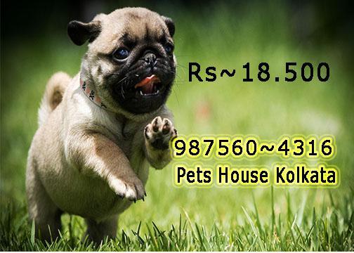 Original vodafone pug dogs sale at pets house kolkata