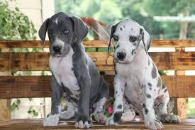 Strong and cute kci great dane male and female puppies for s