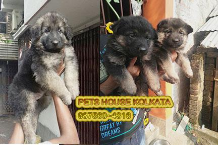 Show quality original german shepherd dogs pets sale aizawl