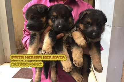 Top imported quality german shepherd dogs rs 21500 kolkata