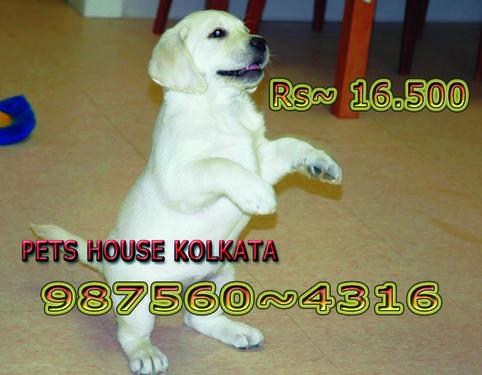 Top labrador dog puppies sale at pets house kolkata