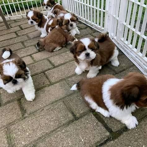 Adorable and shih tzu puppies for saleto good homes