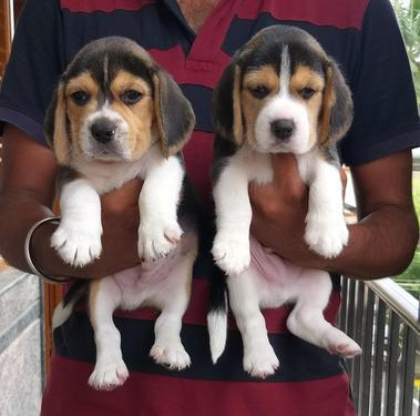 Top import litter of beagle puppies available in bangalore