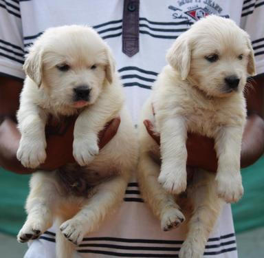 Very long coated golden retriever puppies available in banga