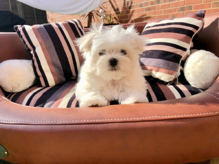 10weeks old cute and beautiful maltese pup for free adoption