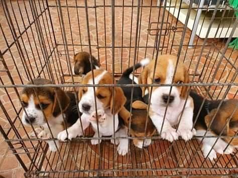 Good and sweet kci beagle male and female puppies for sale o