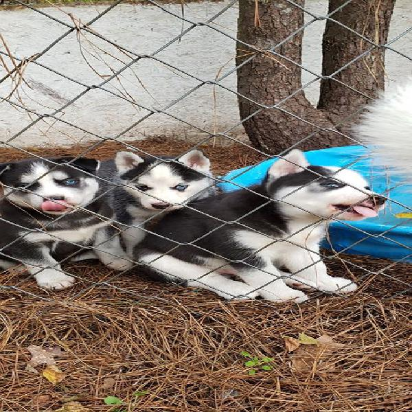 BLUE EYES HUSKY PUPPIES MALE AND FEMALE WHATSAPP 7580020189