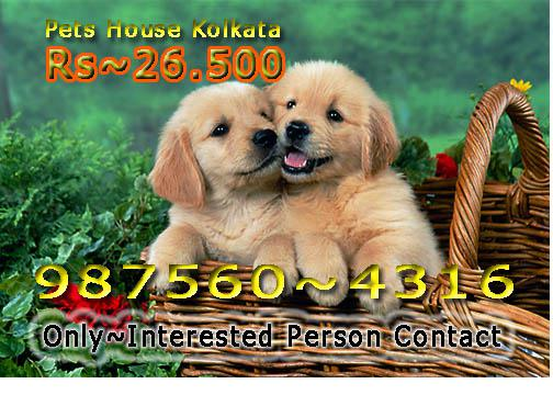 Imported Quality GOLDEN RETRIEVER Dogs Sale At PORT BLAIR