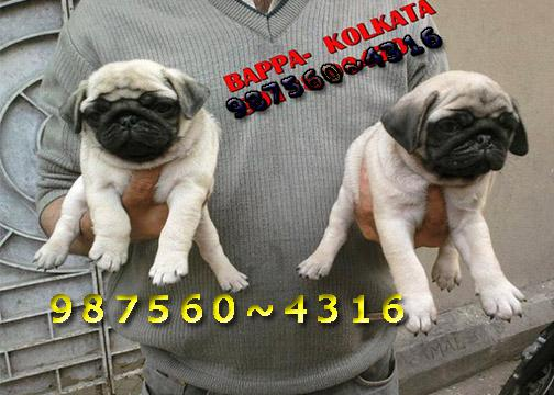 Imported Quality Vodafone PUG Dogs Sale At PORT BLAIR