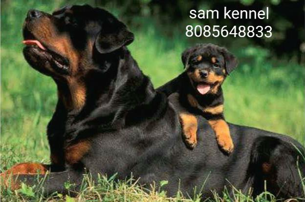 Rottweiler pup for sale in indore 8982569583