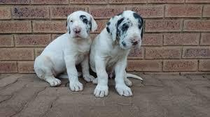 Super good kci great dane male and female puppies for sale