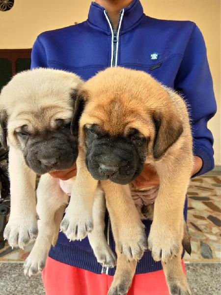 Mastiff puppies for selling