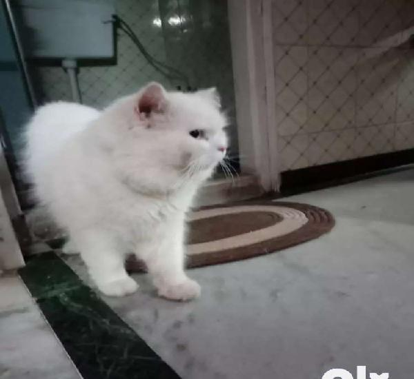 White persian male cat on sale