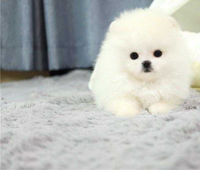 Precious tcup pomeranian puppies for re homing