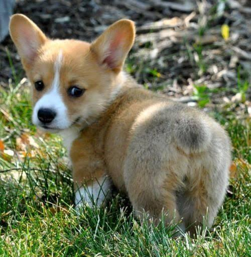 Trust Kennel Corgi Puppies Dogs Available