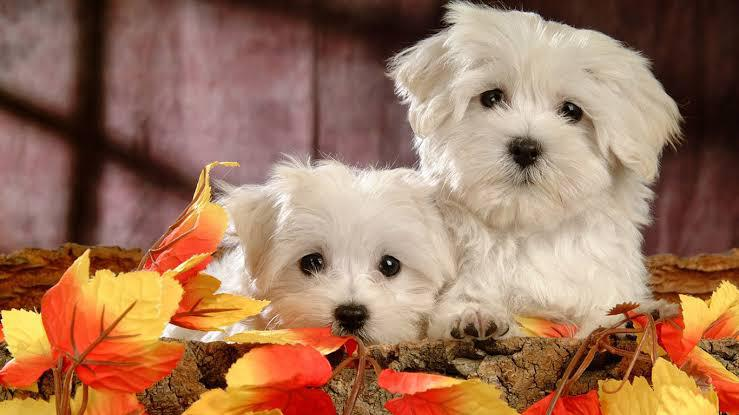 Trust Kennel Maltese Puppies For sale