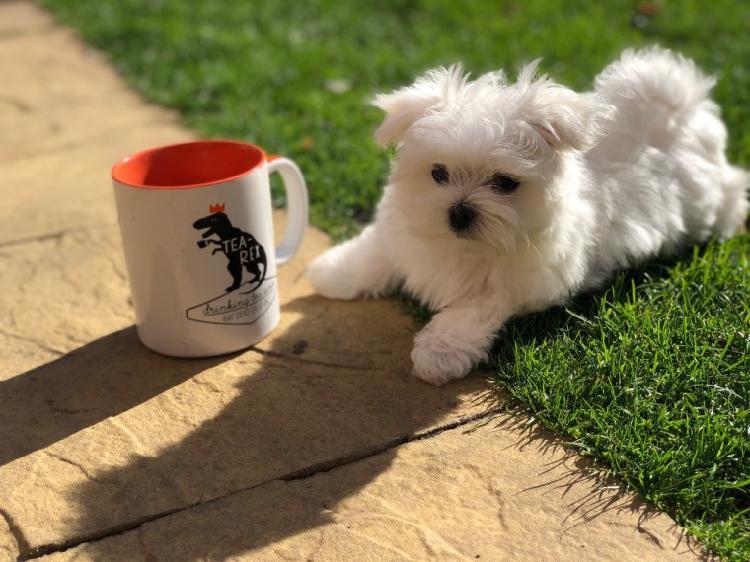 Super cute maltese pups for free adoption