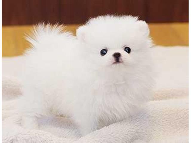 Adorable pedigree pomeranian puppies for adoption