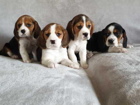 Adorable beagle puppy for adaption
