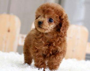 Miniature poodle puppy is such a sweetheart