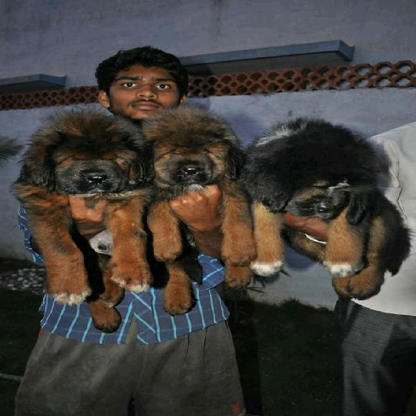 Lovely male and female tibetan mastiff puppies for sale