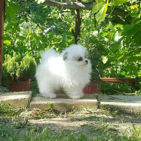 Beautiful pomeranian puppies available