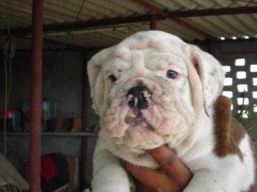 English bulldog pups for sale. import ch. parentage. regd.