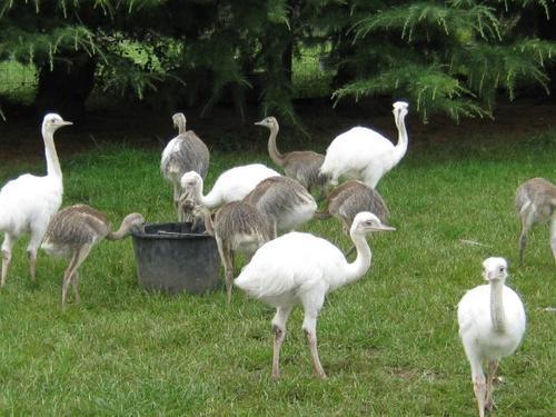 Emus ostriches rhea chicks and their eggs