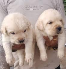 Adorable labrador male and female puppies for sale our puppi