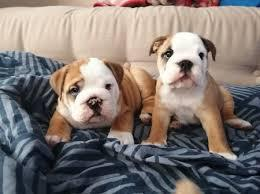Cute english bulldog male and female puppies for sale our pu