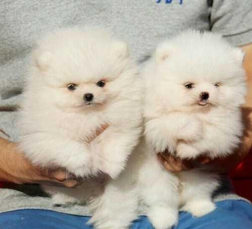 Fantastic pomeranianmale and female puppies for sale our