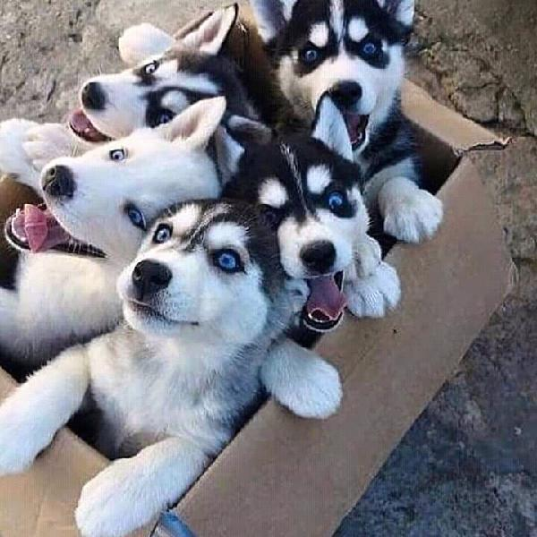 KCI REGISTERED ADORABLE HUSKY PUPPIES LEFT FOR SALE We have