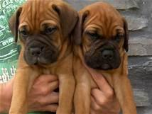 Stunning and cute bull mastiff male and female puppies for