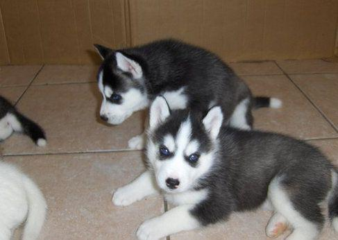 We have 2 cute and adorable kci husky puppies for adoption