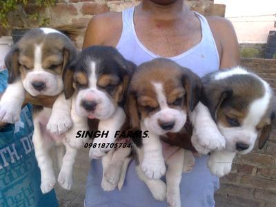 Beagle pups for sale.import champion parents.ultimate